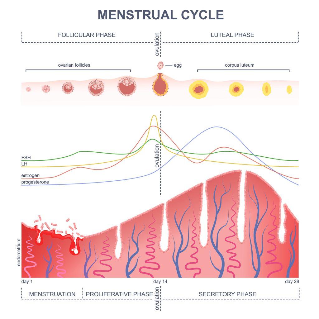Understanding - Menstrual Cycle