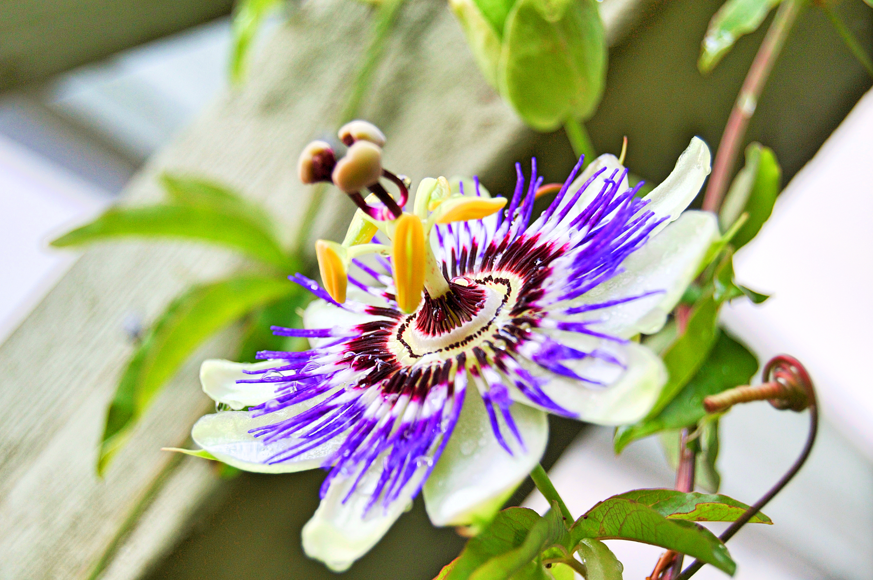 Passionflower And Hops For Sleep Marion Gluck
